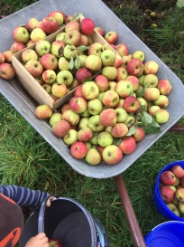 Apfelernte mit kleinem Erntehelfer