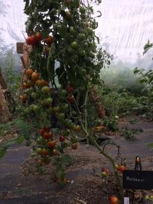 Die Tomaten hängen noch voll