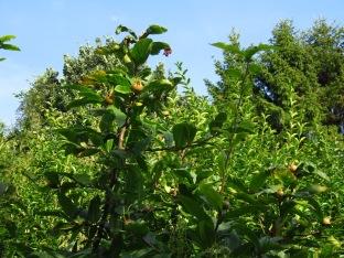 Mispelbaum im Sommer